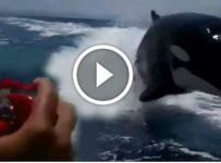 Orca Killer Whales DRAG RACING Against A Small Speedboat!