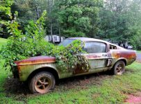 This '67 Shelby GT500 Has Been Rotting in a Yard for 20 Years!