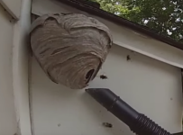 Baldfaced Hornet Nest Removed From Under House Overhang!